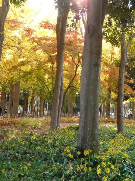 洞峰公園 ツワブキと紅葉 1