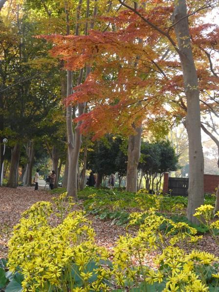 洞峰公園 ツワブキと紅葉 3