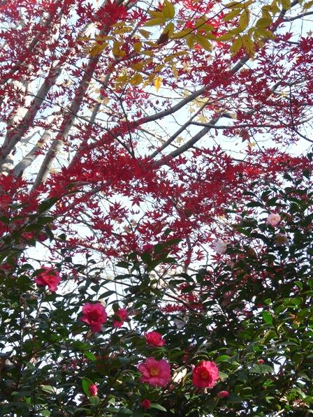 つくば 松見公園へ行く道 サザンカ & 紅葉 2