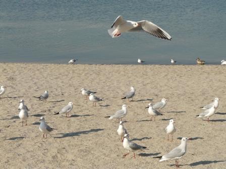 お台場海浜公園 ユリカモメ 4
