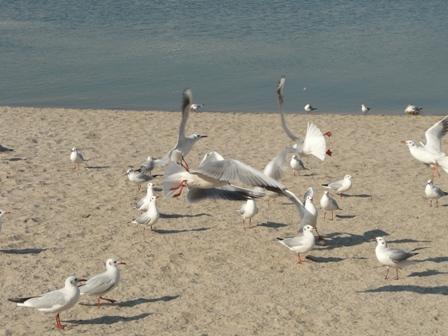 お台場海浜公園 ユリカモメ 5