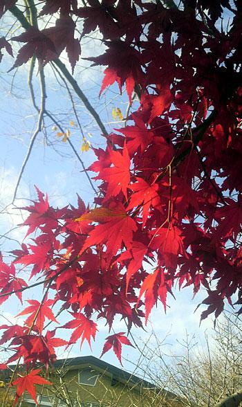 五明の紅葉