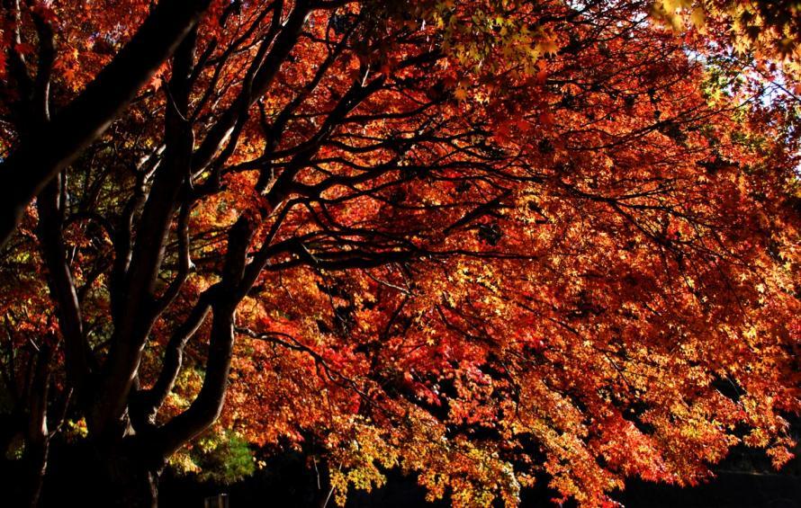 2011-10-31-三富-(9)-モミジ