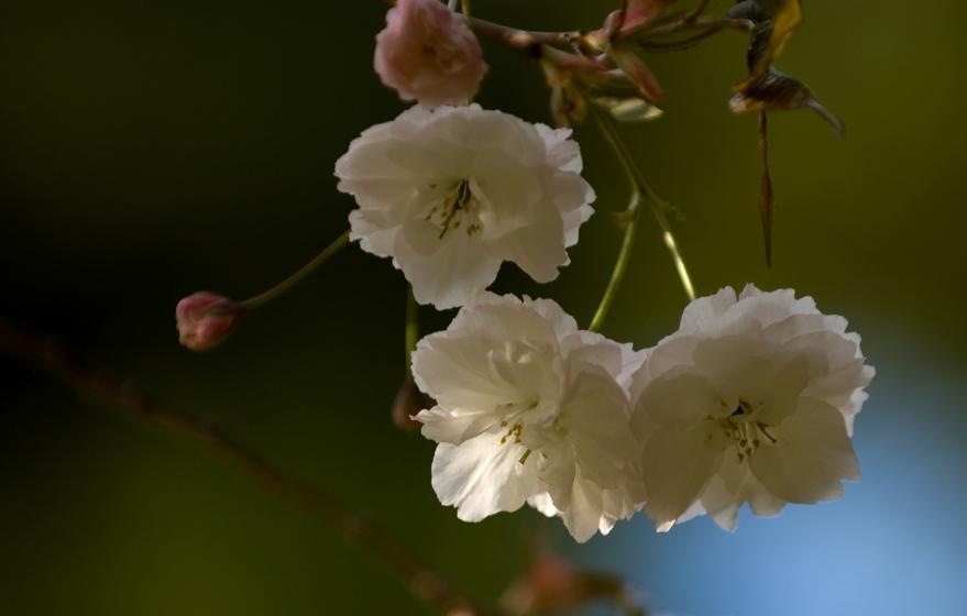 2012 05 05 @八重桜 (38)s