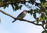 コサメタキ成鳥
