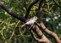 コサメビタキ成鳥