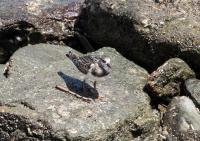 キョウジョシギ幼鳥