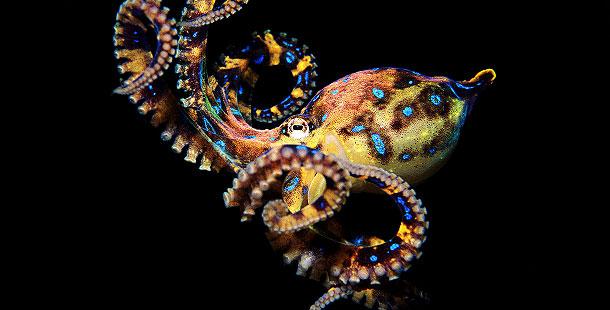610_ag_blue-ringed-octopus.jpg