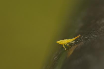 ブチミャクヨコバイ幼体-01_