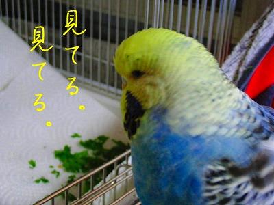 春菊スメルのインコはお好きですか?4