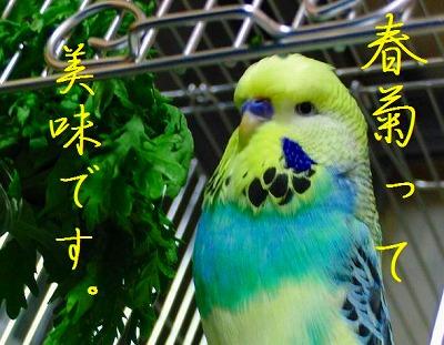 春菊スメルのインコはお好きですか?1