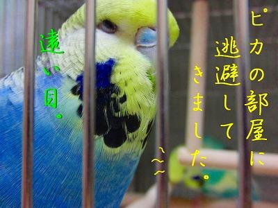 春菊スメルのインコはお好きですか?8