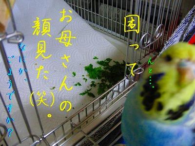 春菊スメルのインコはお好きですか?5