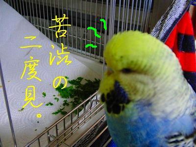 春菊スメルのインコはお好きですか?6