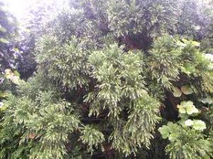 来年の杉花粉
