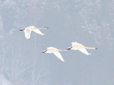 白鳥(猪苗代湖)