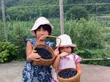 ぶるベリー収穫