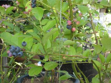 ブルーベーリの木