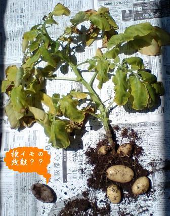 葉っぱはデカく、芋は小さく(笑)