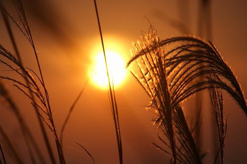 尾花と夕日646