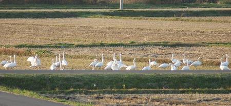 白鳥841