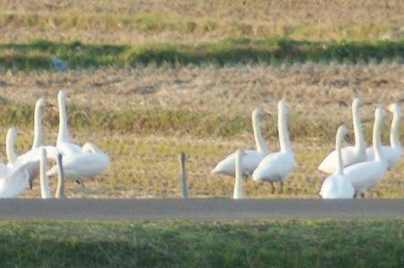 白鳥843