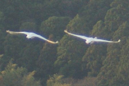 白鳥839