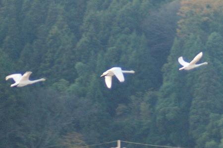 白鳥0847