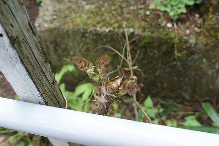 タラの芽498