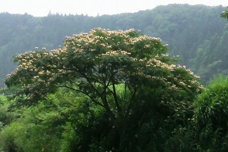 合歓の木33
