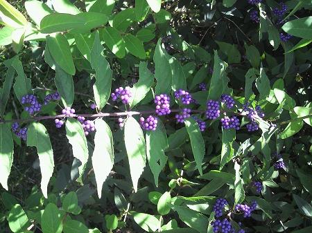 小紫03562