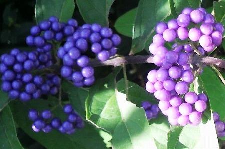 小紫1003563