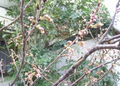 さくらんぼがもう少ししたら咲きそうです!