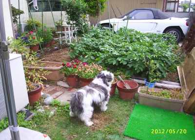 お庭が家庭菜園になったのに気が付いた僕