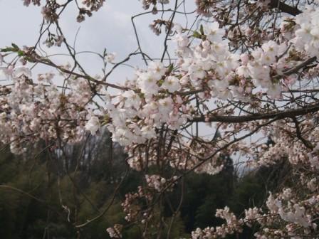 桜2012-03