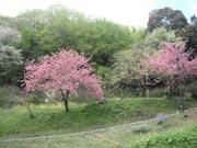 山桜0-1