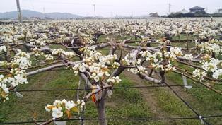 白い絨毯のような梨の花
