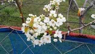 ついに咲いた梨の花2012