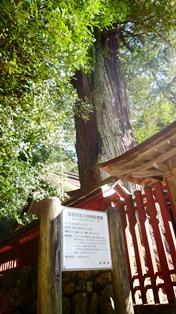 滋賀県自然記念物の高野槙