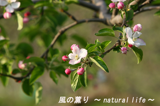 林檎の花・ブログup
