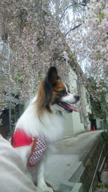 すももと桜
