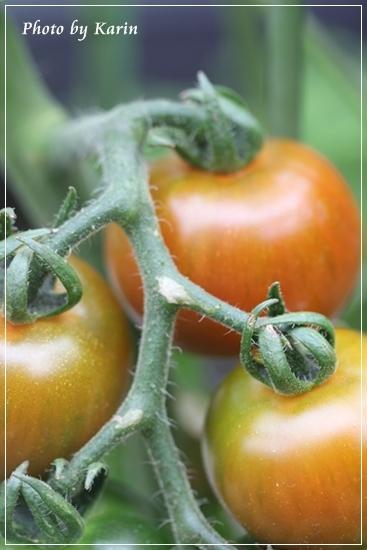 IMG_2981赤いトマト