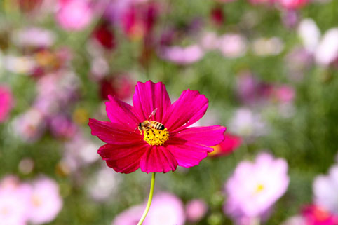 赤いコスモスの花