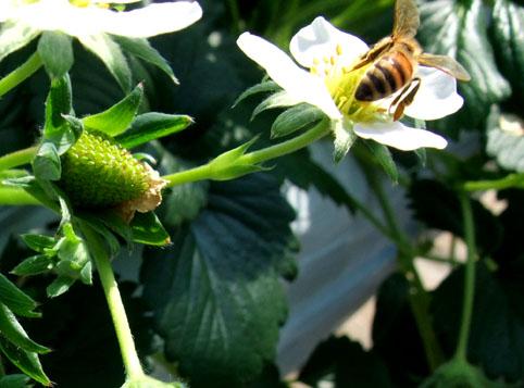 甘い蜜を加える蜂