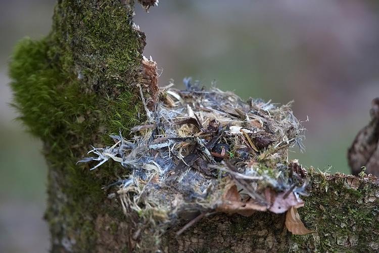 キバシリの巣