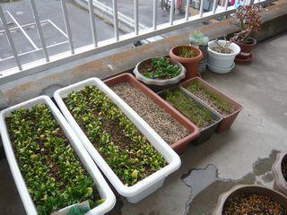 ベランダ菜園1