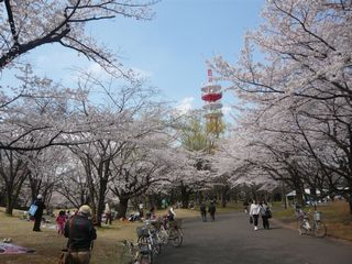 桜_公園1