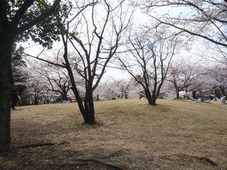 桜_公園3