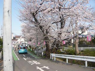 桜_東川1