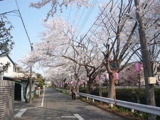 桜_東川2